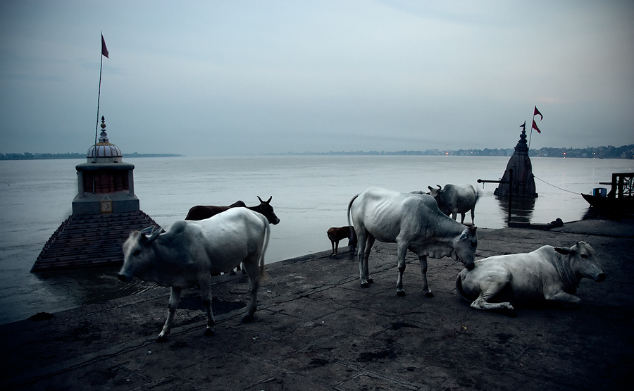 Cows in Benares