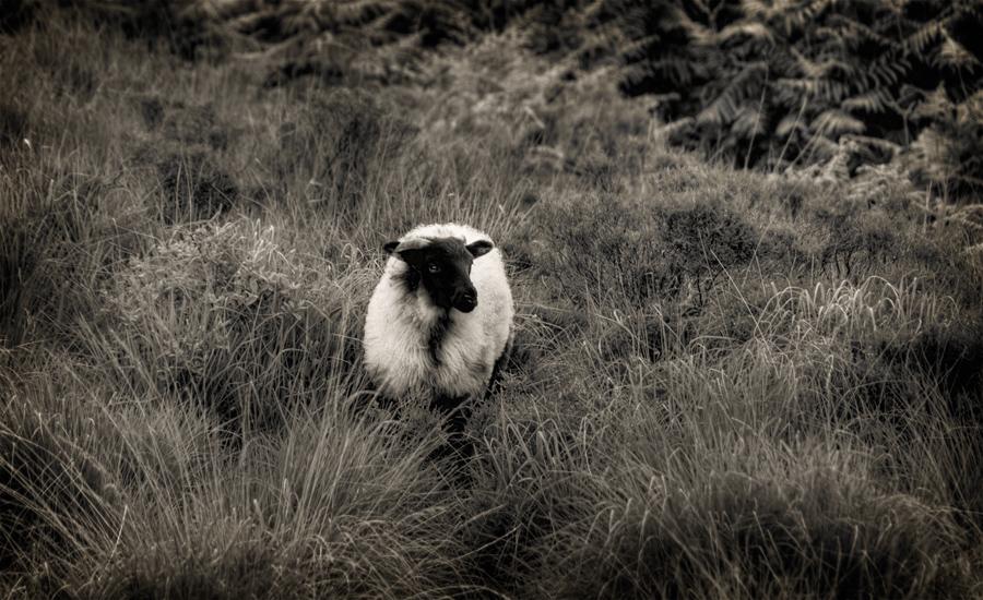 White Dressed Black Sheep